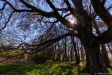 Altmark-Alter-Baum