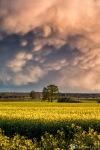 Altmark-Wolken-Mammatus-Rapsfeld