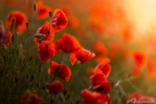 Mohnblumen-Sonnenstrahlen-Altmark