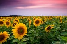 Sonnenblumen in der Altmark