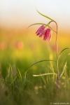 Schachtbrettblumen
