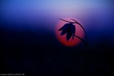 schachbrettblume-schachblume-blaue-stunde