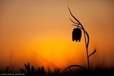 schachbrettblume-schachblume-gegenlichtaufnahme-quer
