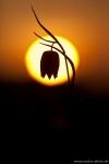 schachbrettblume-schachblume-gegenlichtaufnahme