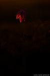 schachbrettblume-schachblume-restlicht