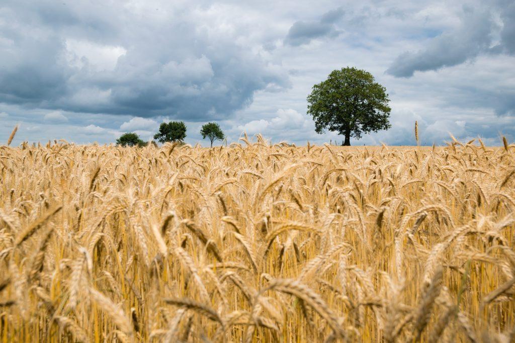 Getreide auf einem Feld. Im Hintergrund sind Bäume und Wolken zu sehen. Das Bild könnte aus der Altmark stammen.