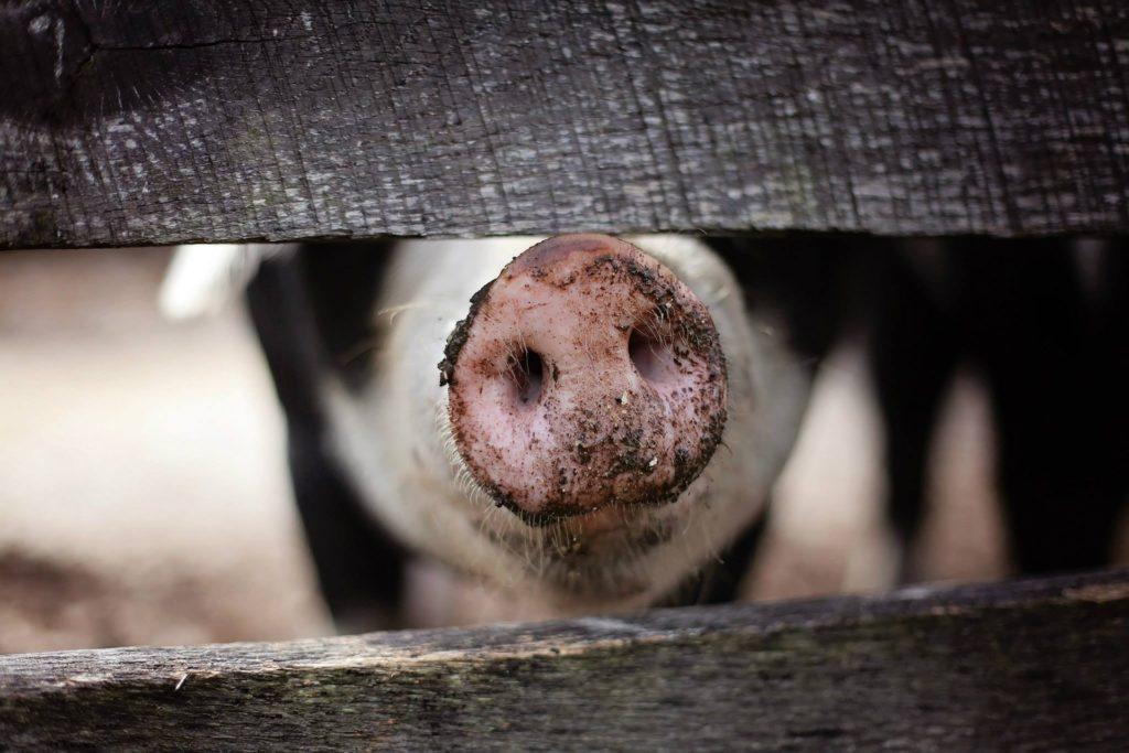 Glücklliches Schwein auf Öko- Bauernhof.
